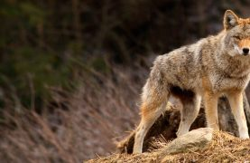 A Girl was bitten by a coyote in a Montreal Park