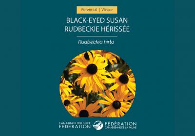 Black eyed Susan Seed